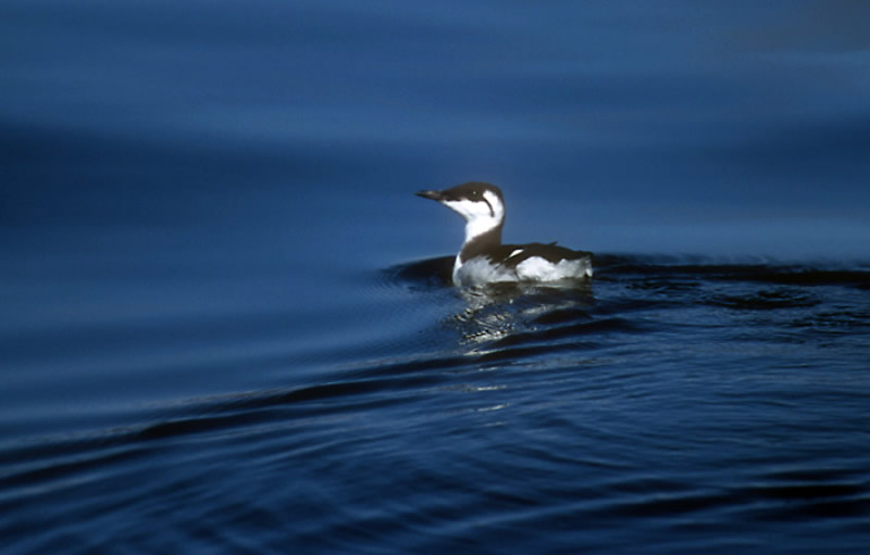 juvenile-guillemot-by-chris-gomersall