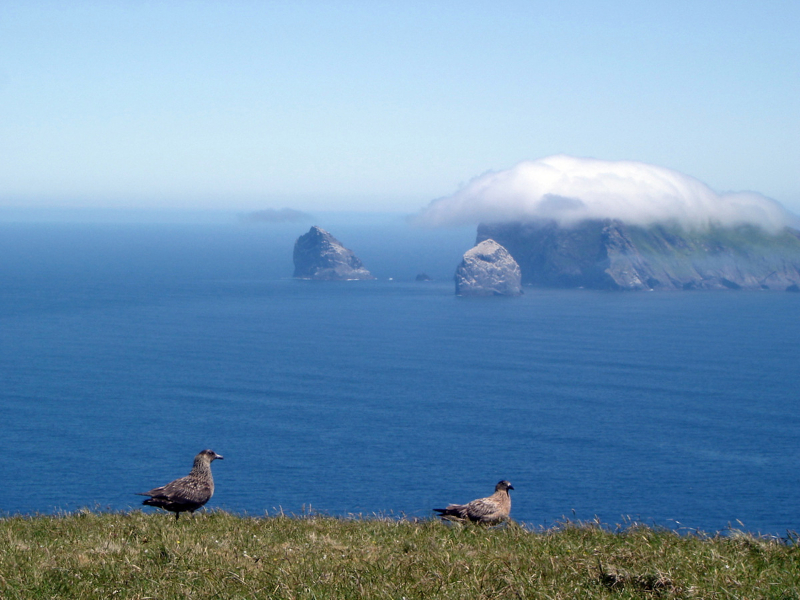Great Skua\'s on Hirta, St Kilda by Carole Gardner