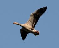 greylag-goose-by-eddie-paterson