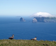 Great Skua\'s on Hirta, St Kilda by Carole Gardner