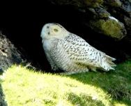 snowy-owl-st-kilda-graham-savage