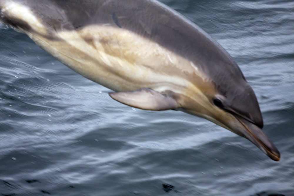 common dolphin - mark henrys