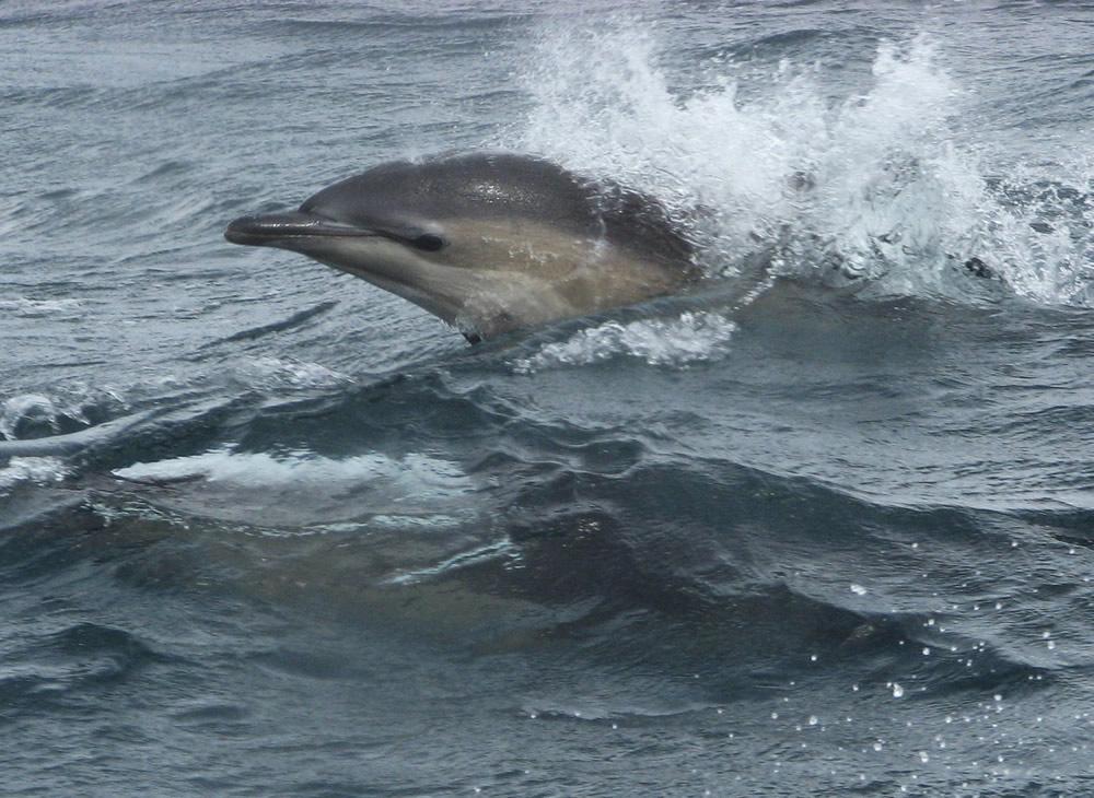 common dolphin - sheila saltmarsh