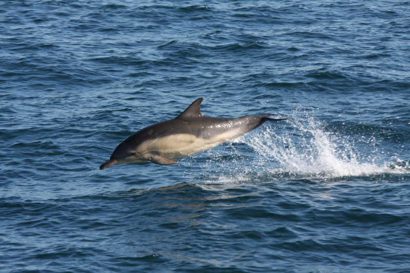 common-dolphin-mh