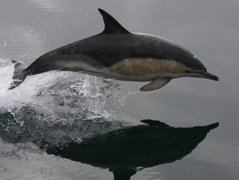 common dolphin-mh
