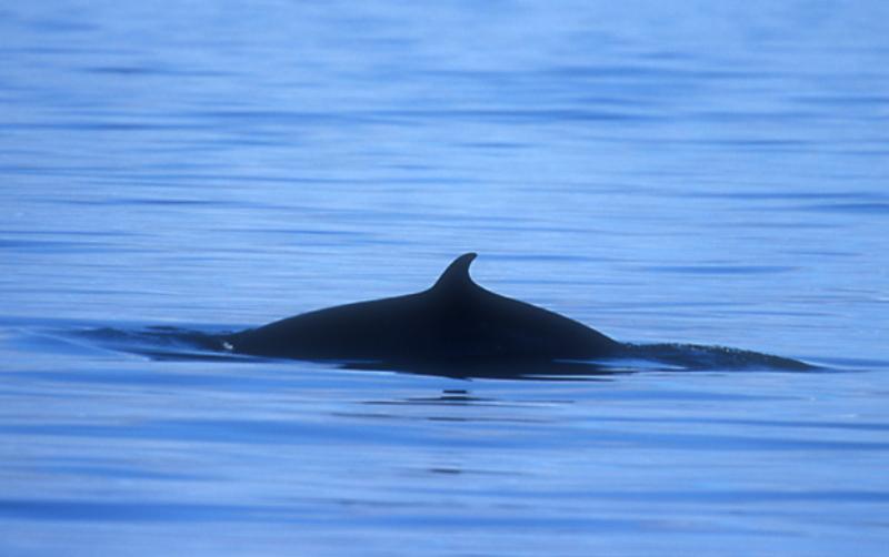 minke-whale-off-st-kilda-by-chris-gomersall
