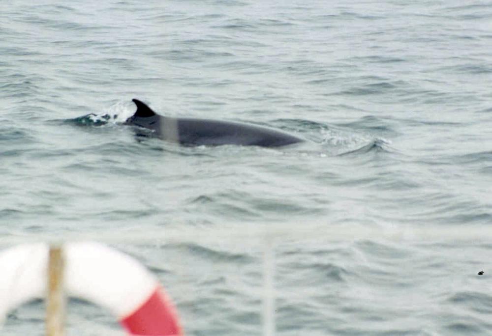 minke whale off stern of vessel - sarah barry