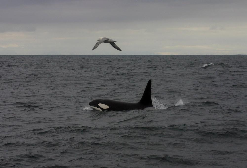 Orca and kittiwake off the isle of lewis - dawn menzies