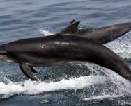 bottlenose-dolphins-sound-of-barra-mh