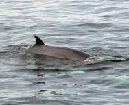 minke whale - roger driver