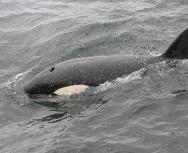 orca iceland - chris gomersall