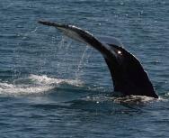 humpback tail - Alan Lester