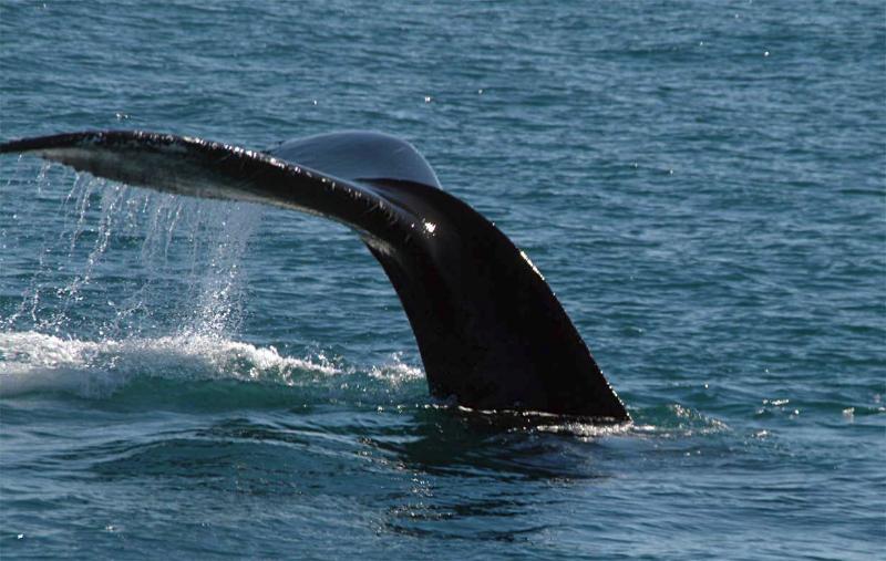 humpback diving offf iceland - Alan Lester