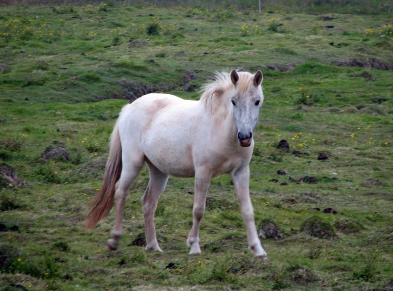 icelandic-pony-john-maughan