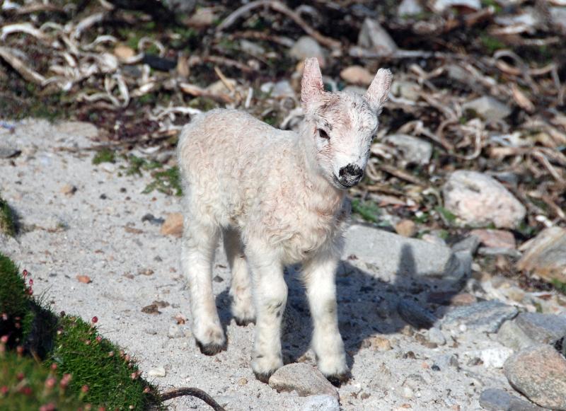 lamb-by-eddie-paterson