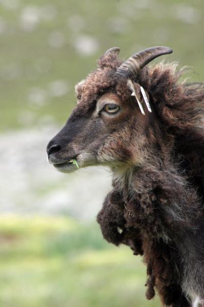 soay-sheep-richard-goodson