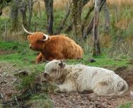highland cows - eddie paterson