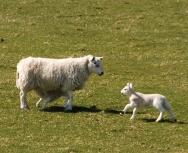 sheep-eddie-paterson