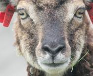 soay sheep, st kilda