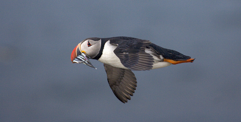Atlantic puffin (Fratercula arctica) summer adult in flight with bill full of sandeels. Island of Flatey, Skjälfandi Bay, northern Iceland. July 2006.