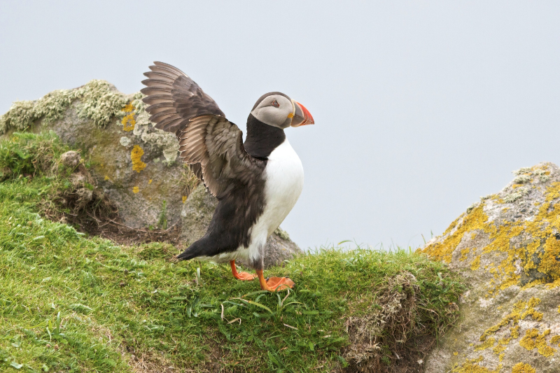 Puffin on Mingulay,  Mick Parmenter