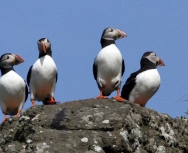 puffins, Richard Crossen