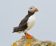 Puffin, Mick Parmenter