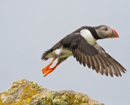 Puffin in flight, Mick Parmenter