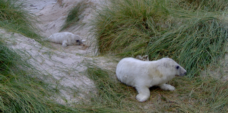 grey seal pup at monachs - heather macneill