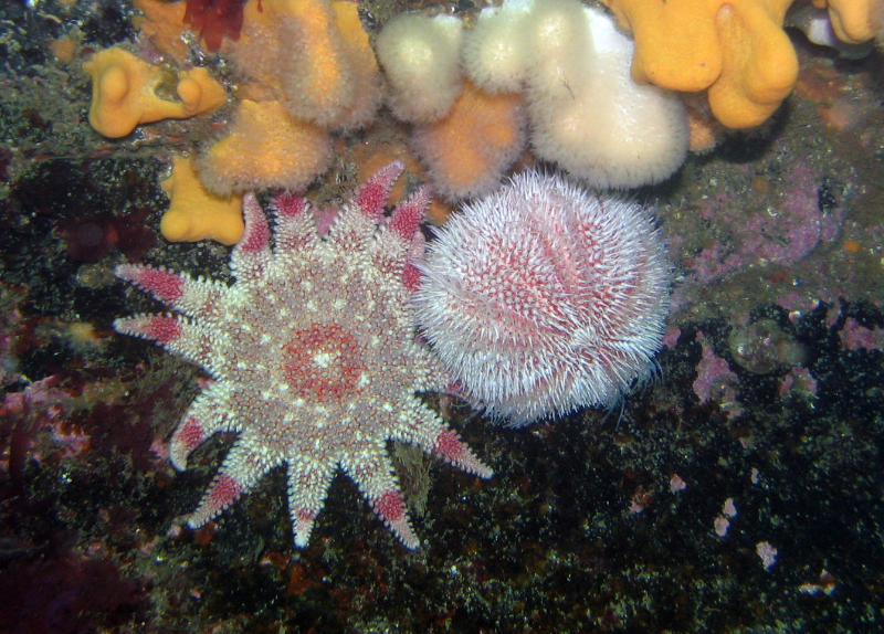 sunstar and sea urchin - andy murray