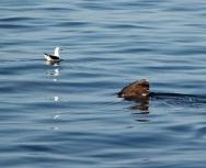 gull-basking-shark-gunna-sound-eddie-paterson