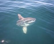ocean sunfish - mark henrys