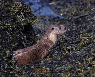 otter-by-chris-gomersall