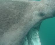 basking shark - nick clark