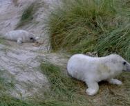 grey seal pup at monachs - heather macneill