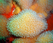 soft coral - dawn menzies