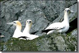 gannets on cliffs st kilda - margaret maggs