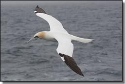 young gannet in flight - mark henrys