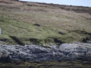 19-2 otters Lochmaddy May 2015