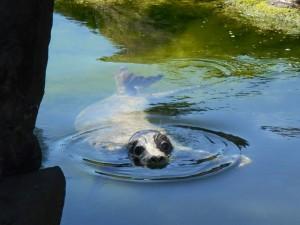 Rona Grey Seal by Paul Moore
