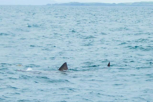 Basking shark by Liz Hamilton