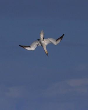 Diving gannet by Judi Helsby