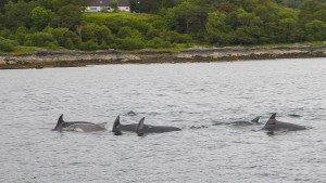 Dolphins by Liz Hamilton