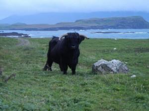 Friendly Bull on Canna - Elizabeth Blackburn