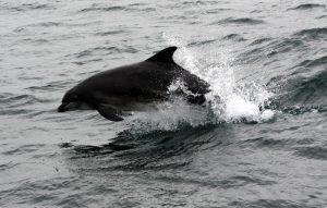 Bottlenose Dolphin SOB