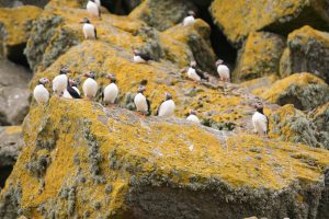 Puffins at the Shiants by Michelle Baron