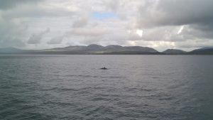 Minke whale by Michelle Baron