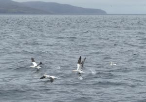 Gannets off North Uist by Maurice Jones