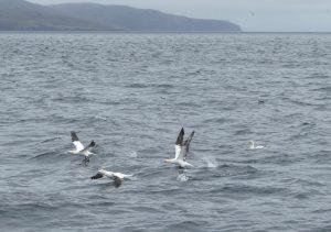 Gannets off North Uist by Maurice Jones
